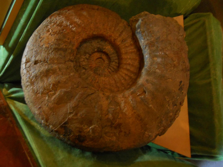 Asterocers du Sinémurien de 60 cm