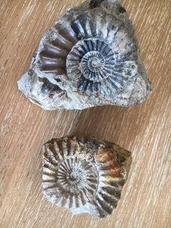 2 aegoceras trouvées par Martine