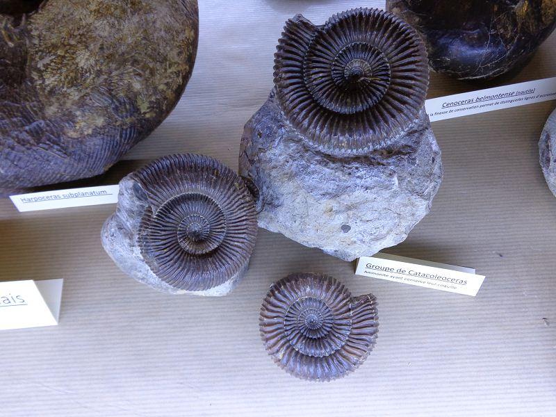 Catacoleoceras